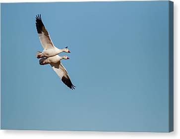 Snow Geese (chen Caerulescens Canvas Print by Larry Ditto