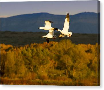 Snow Geese Flying In Fall Canvas Print by Jean Noren