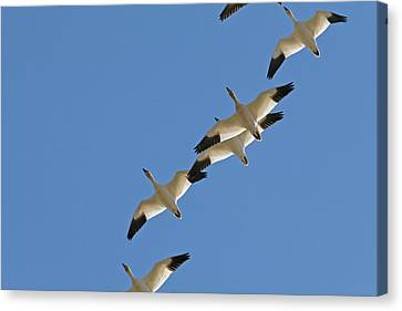 Snow Geese Flying South For The Winter Canvas Print by Peggy Collins