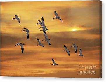 Snow Geese Of Autumn Canvas Print by Tom York Images