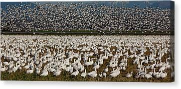 Snow Geese, Skagit Valley, Washington Canvas Print by Art Wolfe