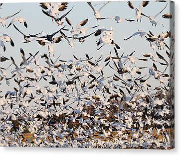 Snow Geese Takeoff From Farmers Corn Field. Canvas Print by Allan Levin