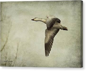 Snow Goose In Flight Canvas Print