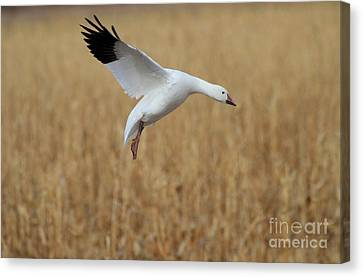 Snow Goose Landing Canvas Print by Ruth Jolly