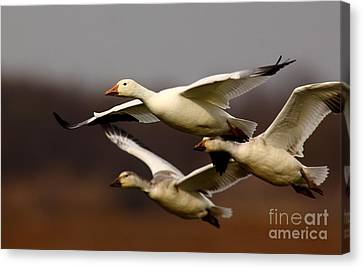 Cabin Window Canvas Print - Snow Goose Formation Migration by Robert Frederick