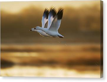Snow Goose Pair Flying Canvas Print by Konrad Wothe