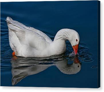 Snow Goose Reflected Canvas Print by John Haldane