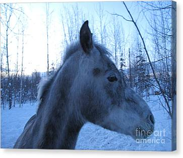 Snow Horse Whisperer  Canvas Print by Elizabeth Stedman