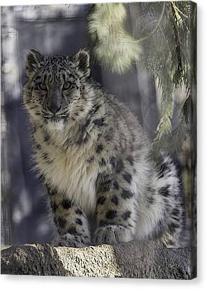 Snow Leopards Canvas Print - Snow Leopard 1 by Everet Regal