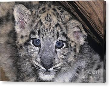 Snow Leopard Cub Endangered Canvas Print
