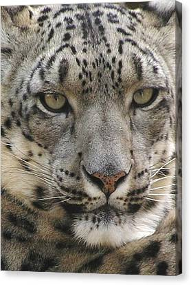 Canvas Print featuring the photograph Snow Leopard by Diane Alexander