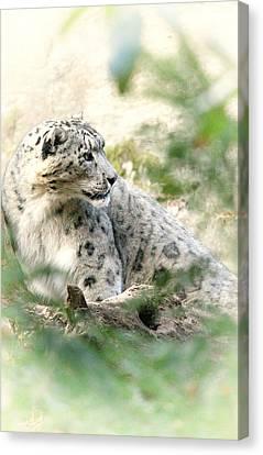 Snow Leopard Pose Canvas Print by Karol Livote