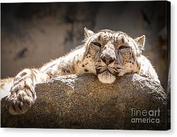 Snow Leopard Relaxing Canvas Print by John Wadleigh