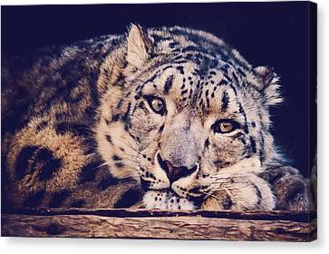 Snow Leopard Canvas Print by Sara Frank