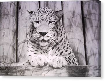 Canvas Print featuring the photograph White Snow Leopard Chillin by Belinda Lee