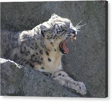Snow Leopard Yawn Canvas Print by Neal Eslinger