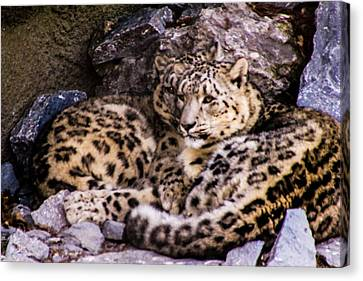 Canvas Print featuring the photograph Snow Leopards by Cathy Donohoue