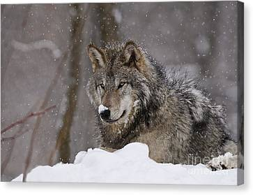Snow Nose Canvas Print by Wolves Only
