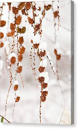 Snow On Larch Cones Canvas Print by Ashley Cooper