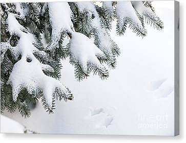 Snow On Winter Branches Canvas Print