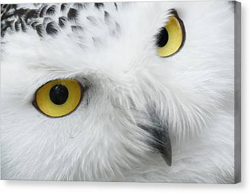 Snow Owl Eyes Canvas Print by Tilen Hrovatic