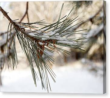 Canvas Print featuring the photograph Snow Pine by Courtney Webster