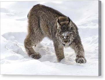 Snow-shovelling Lynx Canvas Print by Dee Cresswell