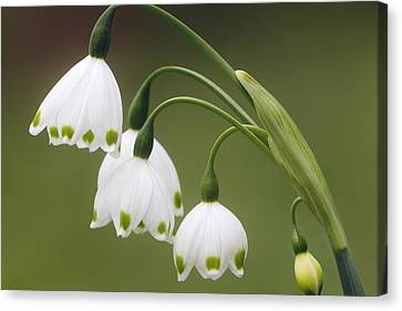 Snowdrops Canvas Print by Jaki Miller