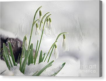Snowdrops On Ice Canvas Print by Sharon Talson