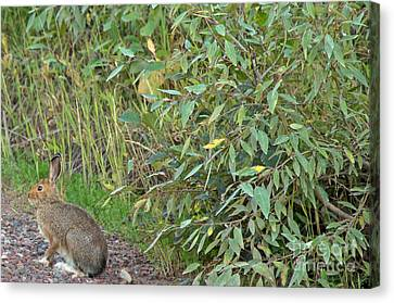 Snowshoe Hare In Montana Canvas Print by Natural Focal Point Photography