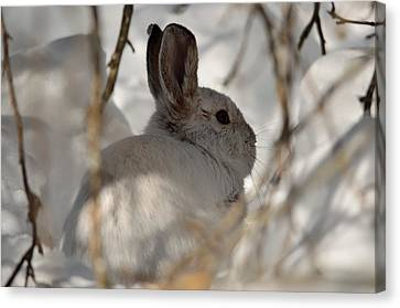 Snowshoe Hare Canvas Print by James Petersen