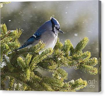 Snowy Day Blue Jay Canvas Print
