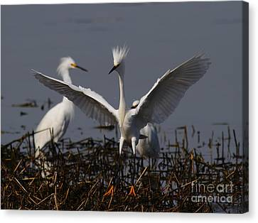 Snowy Egret . There Is Still Hope My Eagle Stance Will Distract Them From My Bad Hair Day . 7d12046 Canvas Print by Wingsdomain Art and Photography