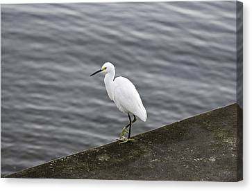 Canvas Print featuring the photograph Snowy Egret by Anthony Baatz