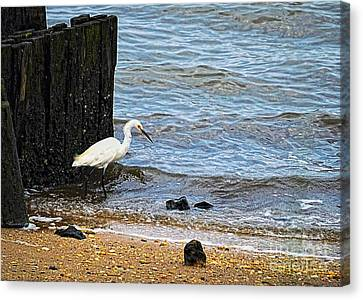 Snowy Egret At The Shore Canvas Print