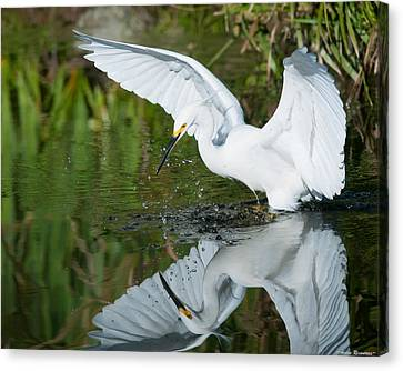 Snowy Egret Canvas Print by Avian Resources