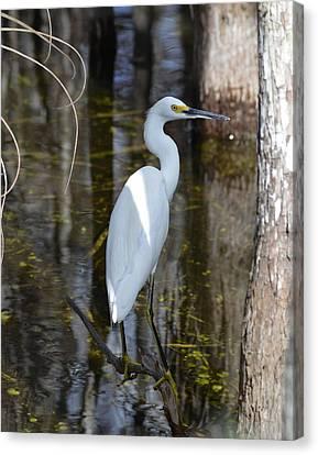 Snowy Egret Big Cypress Swamp Canvas Print