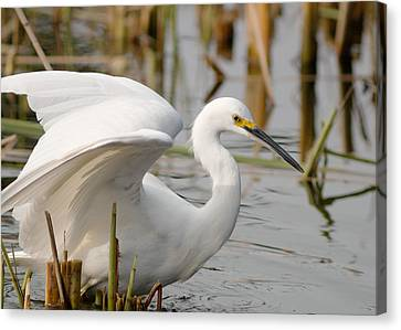 Canvas Print featuring the photograph Snowy Egret by Doug Herr