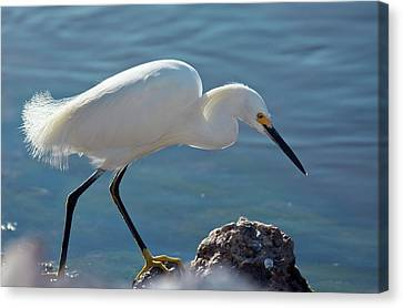 Snowy Egret Feeding Canvas Print by Bob Gibbons