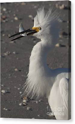 Snowy Egret Fishing Canvas Print by Meg Rousher