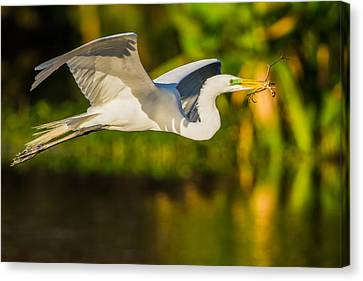 Snowy Egret Flying With A Branch Canvas Print