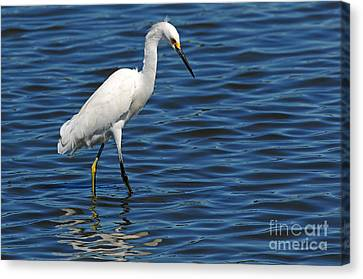 Canvas Print featuring the photograph Snowy Egret Foraging by Olivia Hardwicke