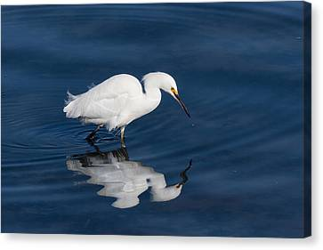 Kathleen Canvas Print - Snowy Egret In The Looking Glass by Kathleen Bishop