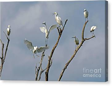 Canvas Print featuring the photograph Snowy Egret Inn by Olivia Hardwicke