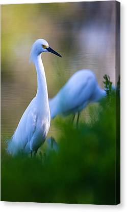 Snowy Egret On A Lush Green Foreground Canvas Print by Andres Leon