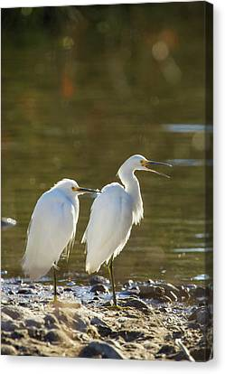 Snowy Egret Pair On The Shore Of Lake Canvas Print by Michael Qualls