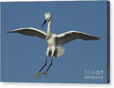 Canvas Print featuring the photograph Snowy Egret Photo by Meg Rousher