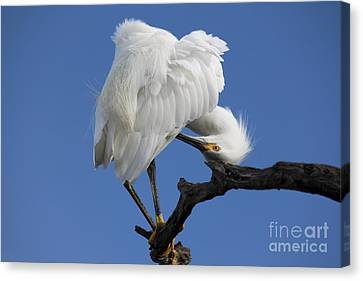 Canvas Print featuring the photograph Snowy Egret Photograph by Meg Rousher