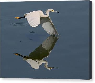 Snowy Egret Reflecting Canvas Print by Myrna Bradshaw