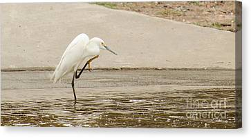 Snowy Egret Taking Advantage Of The Flood Canvas Print by Donna Brown